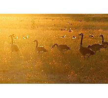 GEESE IN RADIANT LIGHT Photographic Print