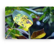Macro on green and yellow leaves. Canvas Print
