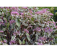 Bush of pink flowers. Photographic Print