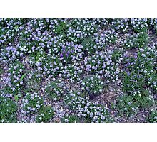 Delicate small purple flowers. Photographic Print