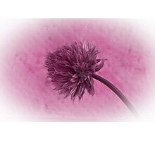 Single Chive Blossom  Photographic Print