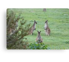 'MORNING POW WOW!' 'Arilka' Mount Pleasant. Adelaide Hills. Canvas Print