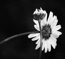 """""""Daisy Duo"""" by Laurie Minor"""