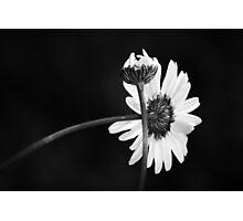 """Daisy Duo"" Photographic Print"