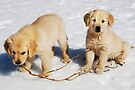 """Golden Retriever Puppies First Winter"" by Laurie Minor"