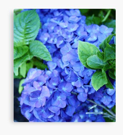 Blue Hydrangia Canvas Print