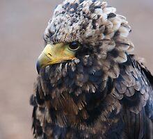 Bateleur Eagle by Lindie Allen