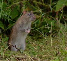 Brown rat - I by Peter Wiggerman
