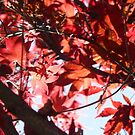 Autumn Sun-shined Red Leaved Tree by Jesi Marie Timpe