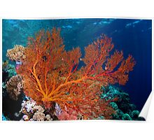 Sea fan in shallow water, Wakatobi National Park, Indonesia Poster