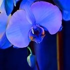 Blue Diamond Orchid # 1 by Matsumoto