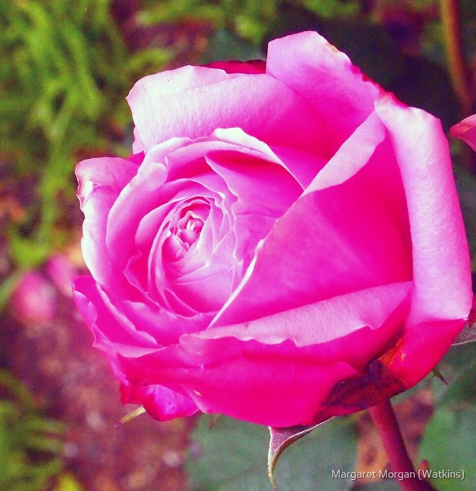 Soeur Emmanuelle single bloom growing in my Kilmore garden, Victoria, Australia by Margaret Morgan (Watkins)
