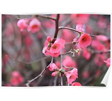 Japanese Flowering Quince Poster