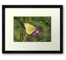 Beautiful Clouded Yellow Butterfly Framed Print