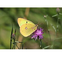 Beautiful Clouded Yellow Butterfly Photographic Print
