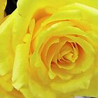 beautiful yellow rose flower. Love, friendship, romance. Floral photo art. by naturematters