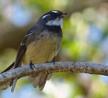 Grey Fantail by watchthebirdie