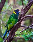 Twenty Eight Parrot  - Western Australia by Yukondick