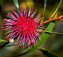 Pin Cushion Hakea Flower by pcbermagui