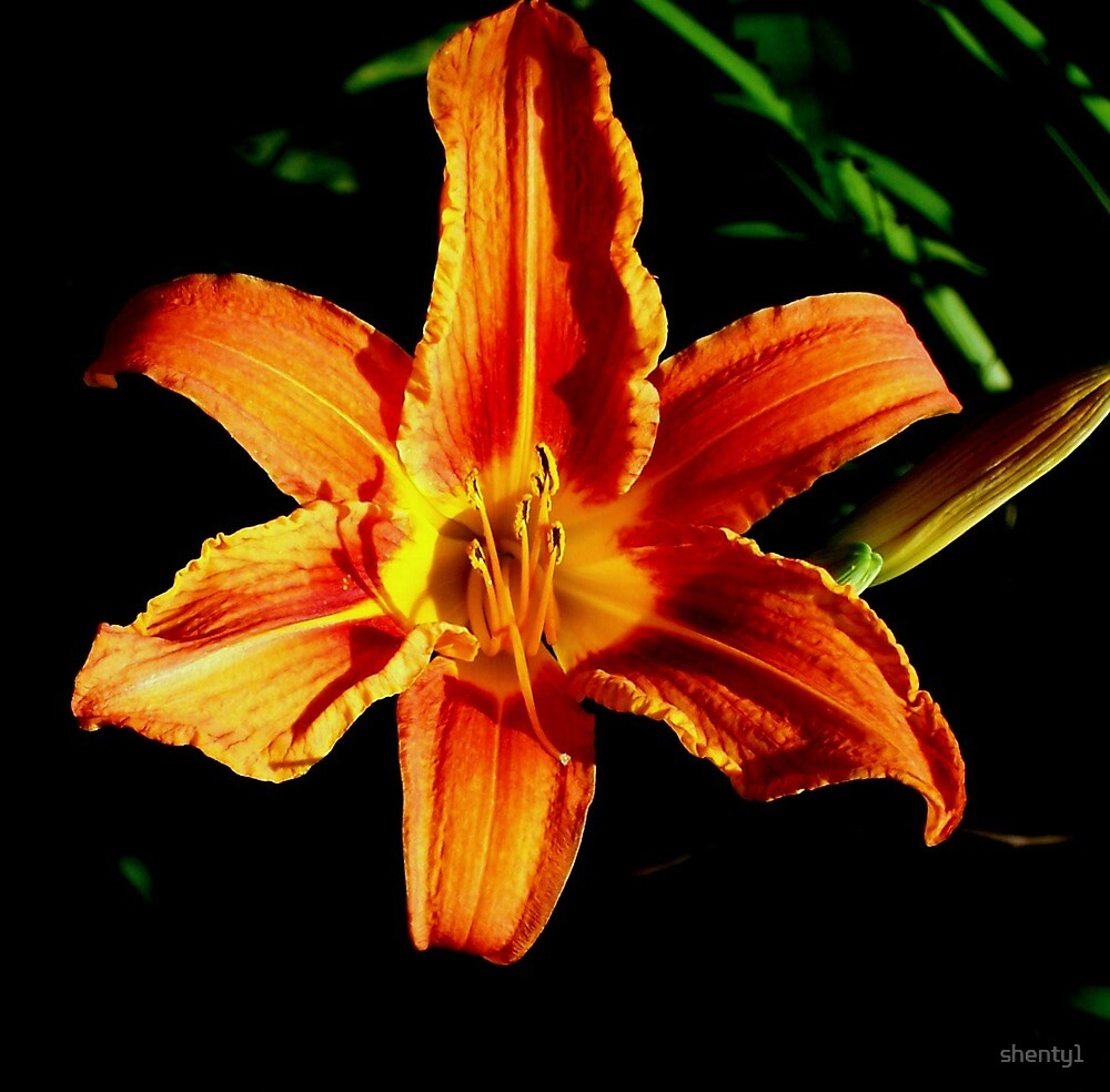 Lily1 by shenty1