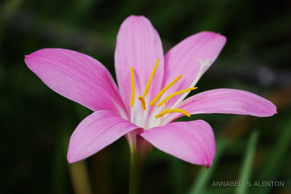 pink lily by ANNABEL   S. ALENTON