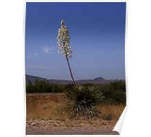 Yucca Poster