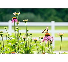 LP - Butterfly Photographic Print