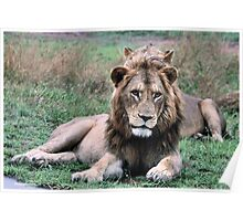 AN EARLY MORNING CATCH - THE LION -– Panthera leo - LEEU Poster