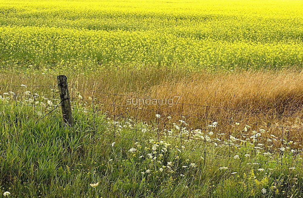 Canola Country_1 by sundawg7