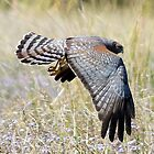 Spotted Harrier  by Trish Threlfall