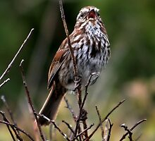 Song Sparrow Singing by AnnDixon