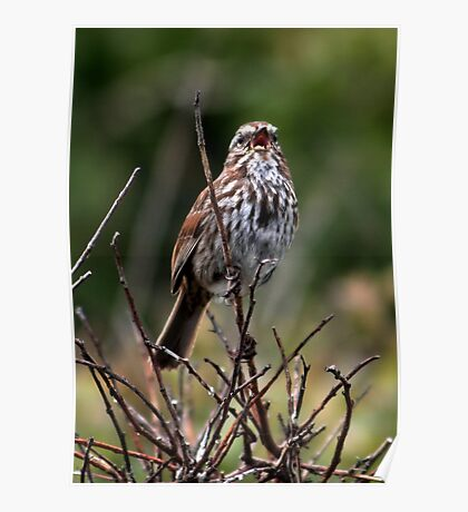 Song Sparrow Singing Poster