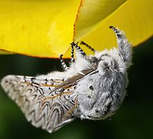 Furry Puss Moth on yellow Tulip by MrBennettKent