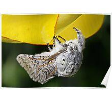 Furry Puss Moth on yellow Tulip Poster