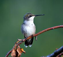 Female Ruby-throated Hummingbird (Archilochus colubris) by Yannik Hay