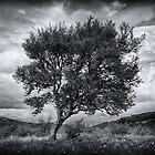 Northern (Icelandic) Birch by Karen Scrimes