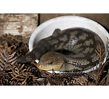 Blue tongue lizard Photographic Print