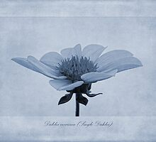 Dahlia coccinea cyanotype by John Edwards