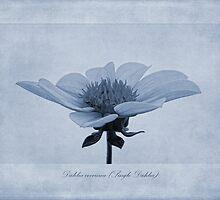 Dahlia coccinea cyanotype by John Edwards