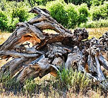 Deadwood on Cherry Creek Trail 4  by Robert Meyers-Lussier