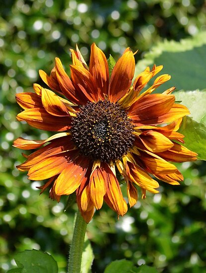 Bronze Sunflower by Dorothy Thomson
