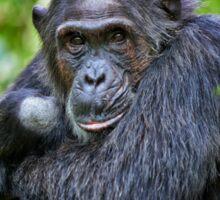 portrait of a chimpanzee Sticker