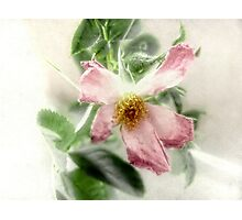 After the Storm - Wild Rose Photographic Print
