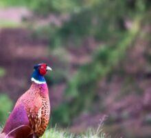 Ring-necked Pheasant Sticker