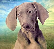 Gunshy Weimaraner looking for loving home by © Kira Bodensted