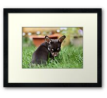Chihuahua Framed Print