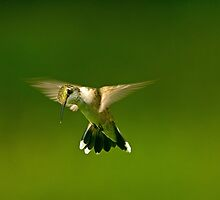 Mid Air Hummer by imagetj