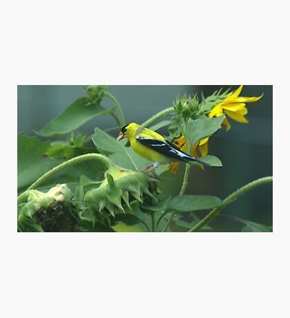 Finch SunFlower Photographic Print