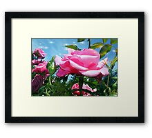 Gorgeous pink rose in blue sky. Floral photography. Framed Print