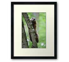 Groundhog in a Tree Framed Print